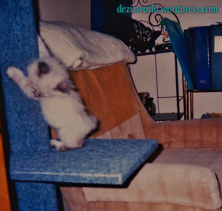 Baby Dezi scratching the cat perch pole
