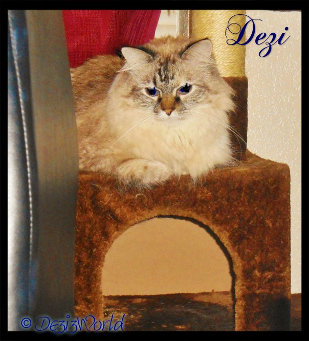 0dw Dezi on cat tree