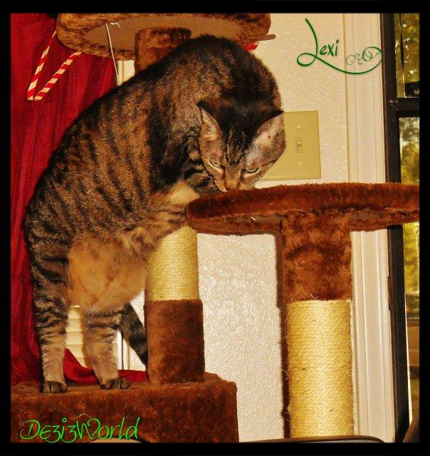 0dw Lexi standing on cat tree