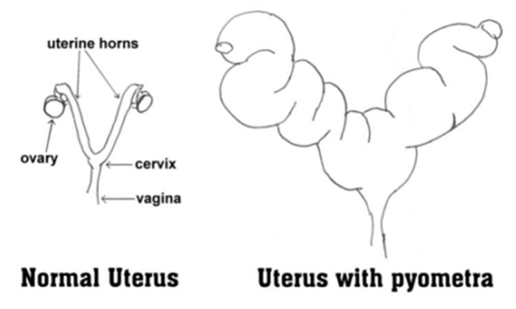 pyometra2