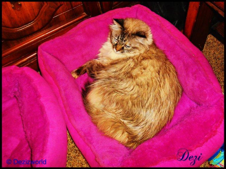 dw Dezi in cat bed