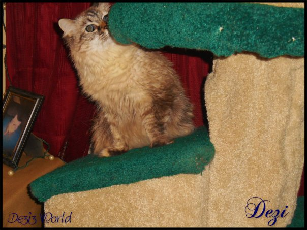 0dw Dezi cat tree4
