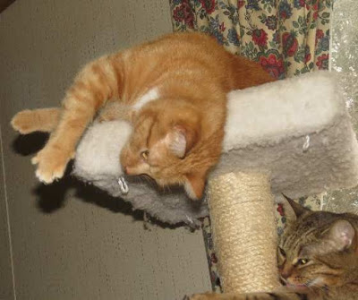 Borrowed from Marg's Animals.  Little Bit is one of the lucky ferals now living the good life inside his forever home.