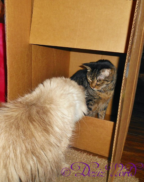 #Lexi the #servicecat sits in a box looking at sister #Dezi trying to get in with her