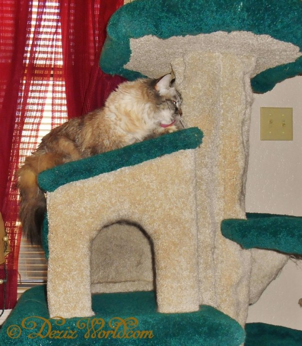 Dezi bathes on Fandago cat tree while enjoying the sunshine