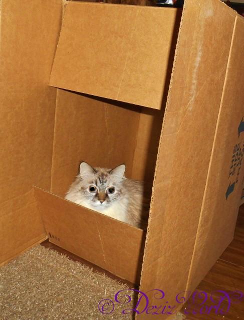 #Dezi the #servicecat lays in a box