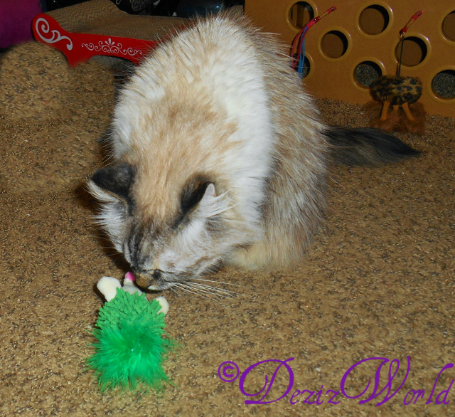Dezi sniffing Imperial Cat hedgehog