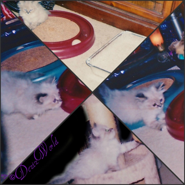 Collage: #Dezi the #servicecat at 3-5 weeks old playing on #CatPerch 3-6 week old #Dezi the #Servicecat playing in new home
