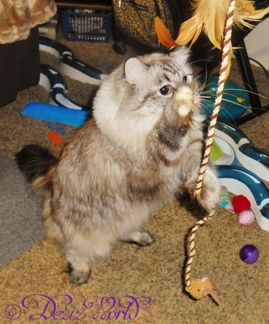 Dezi playing with wand toy and standing on back legs