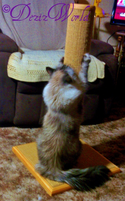 #Dezi scratches the Purrfect Scratcher
