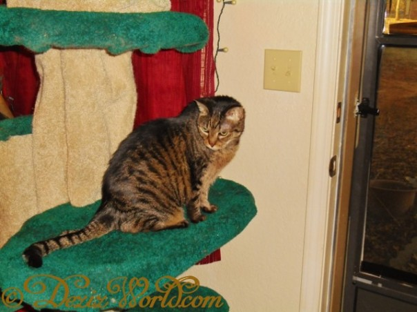 Lexi sits on Fandango cat tree while enjoying the sunshine