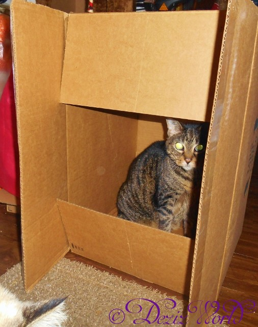 #Lexi the #Servicecat sits in box