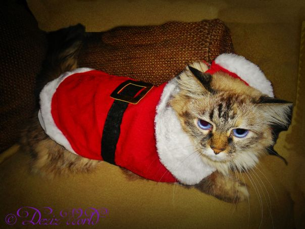 #Dezi dressed in her Christmas Santa suit complete with hat