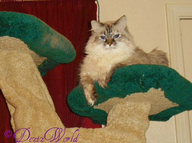 Dezi looking cute laying on the top of the cat tree