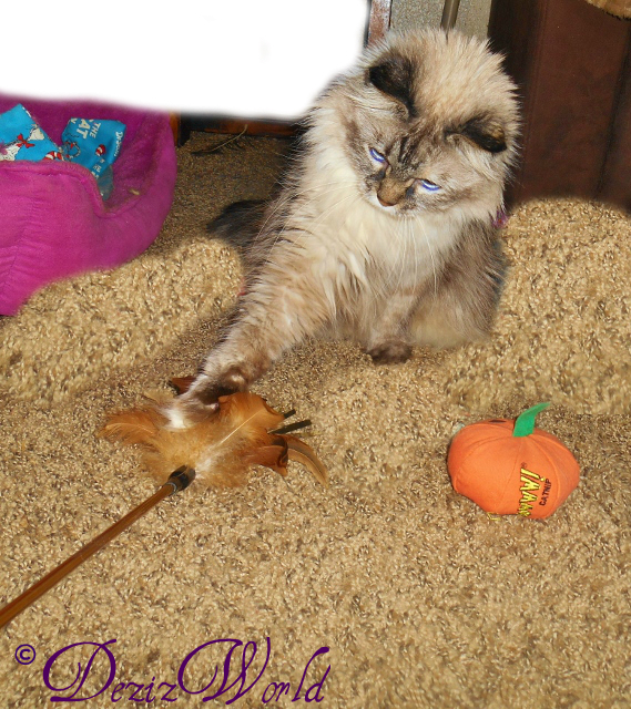 Dezi plays with feather wand toy