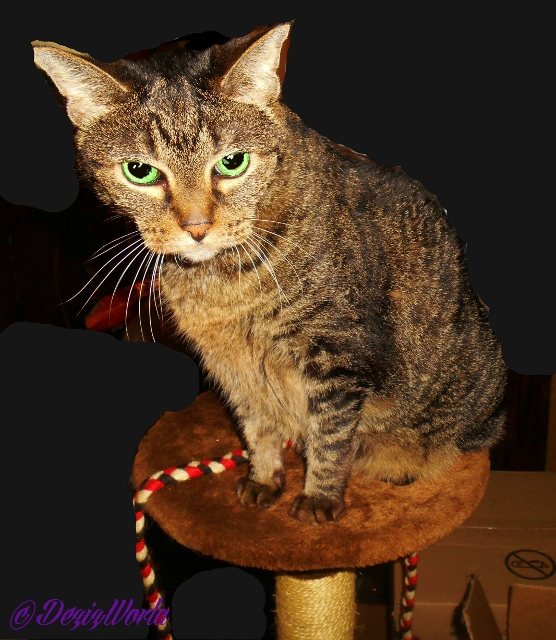 Lexi sites atop the brown cat tree