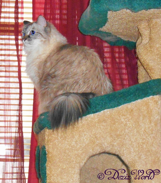 Dezi profiled on the cat tree lookin' back from the window