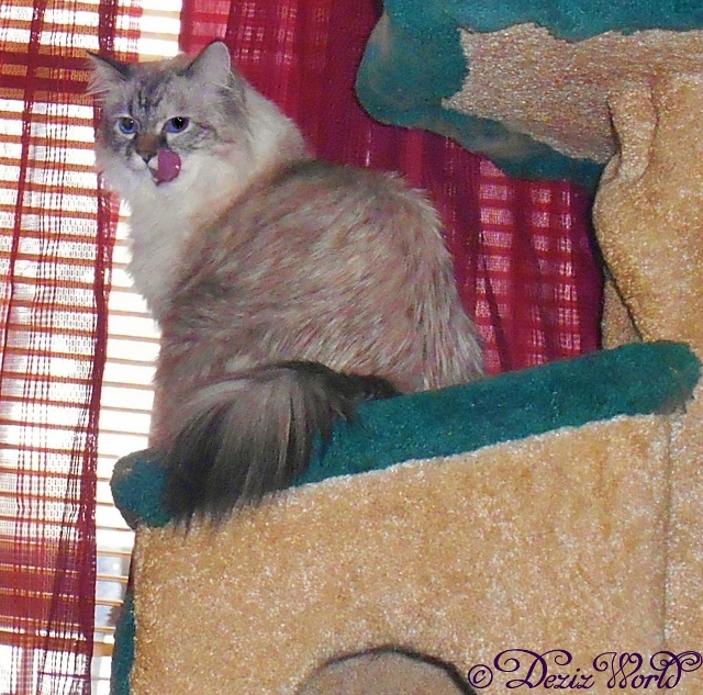Dezi looking back from the window on the cat tree licking her lips