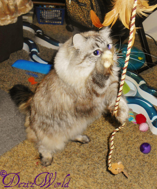 Dezi stands on back legs and catches the wand toy