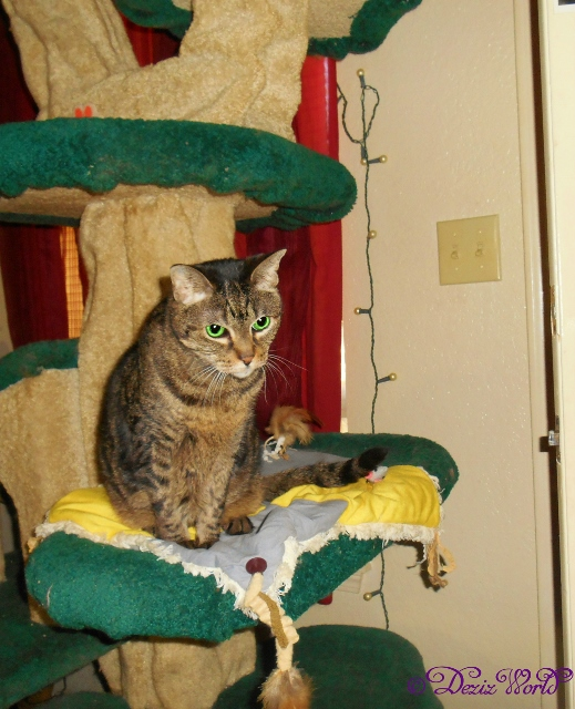 Lexi sittiing on the Liberty cat tree 1-29-16