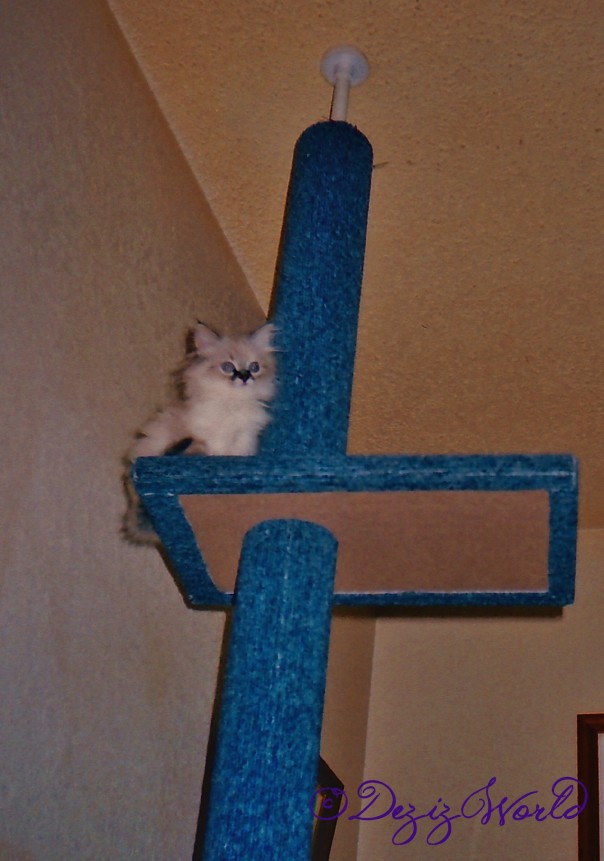 Baby Dezi on top of her first cat tree