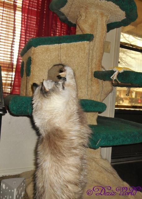Dezi reaches for the Cat Dancer