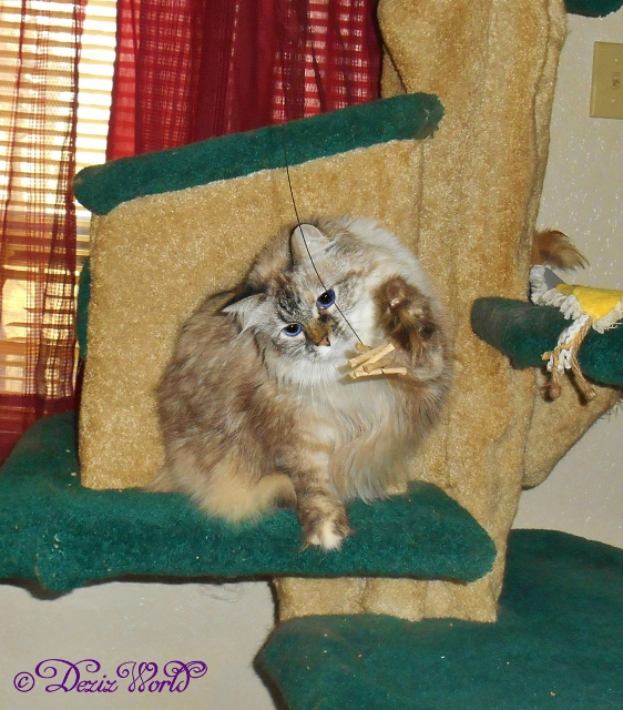 Dezi whacks the Cat Dancer from the liberty Cat tree