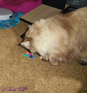 Dezi plays with the Ring Tail Chasers from Cat Dancer