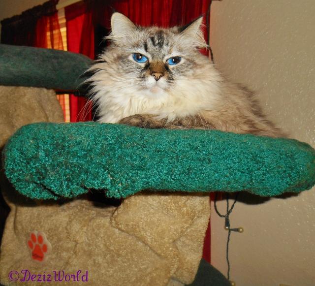 Dezi poses atop the Liberty cat tree