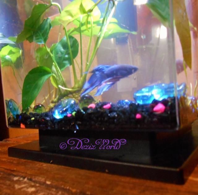New Betta fish swimming in his aquarium
