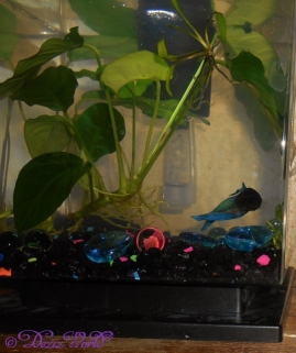 New Betta fish watching Dezi watch him