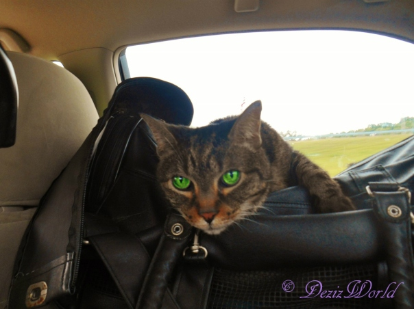 Lexi riding in the car on the BlogPaws 2015 trip
