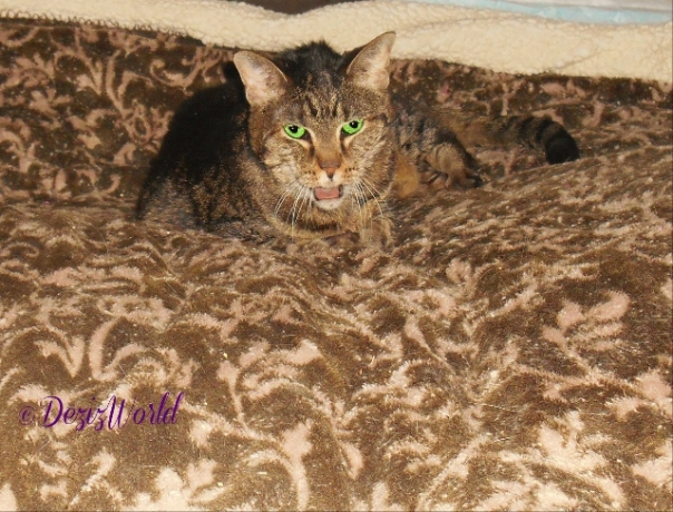 Lexi with mouth open meowing on 3/9/2016