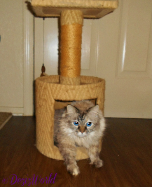 Dezi in small cat tree
