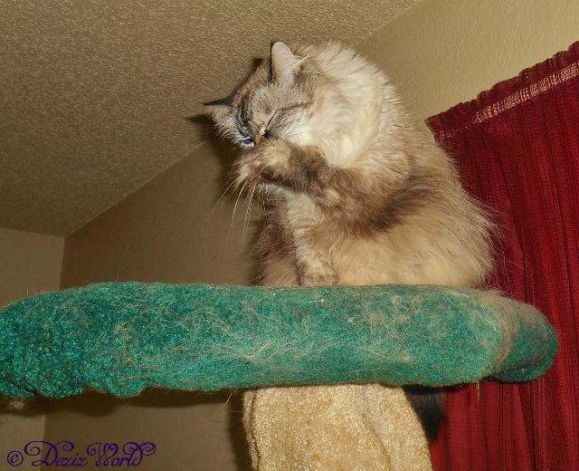 Dezi cleaning her face from atop the Liberty Cat Tree