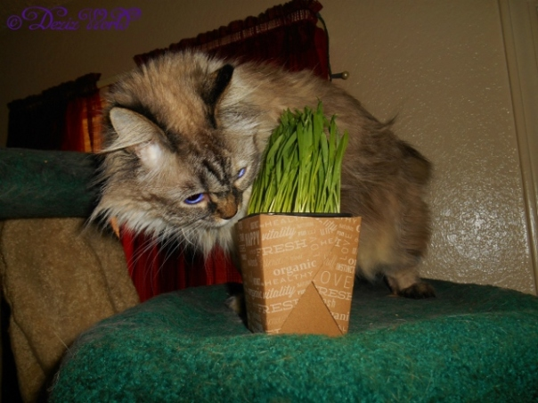 Dezi looking for a spot to munch on the pet grass