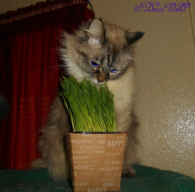 Dezi licking the top of the pet grass