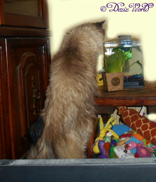 Dezi eating her pet grass in front of Dougie the Betta