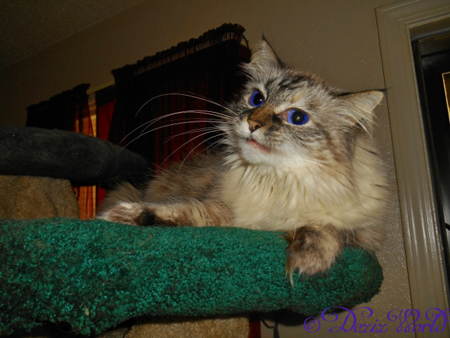 Dezi laying on cat tree and meowing