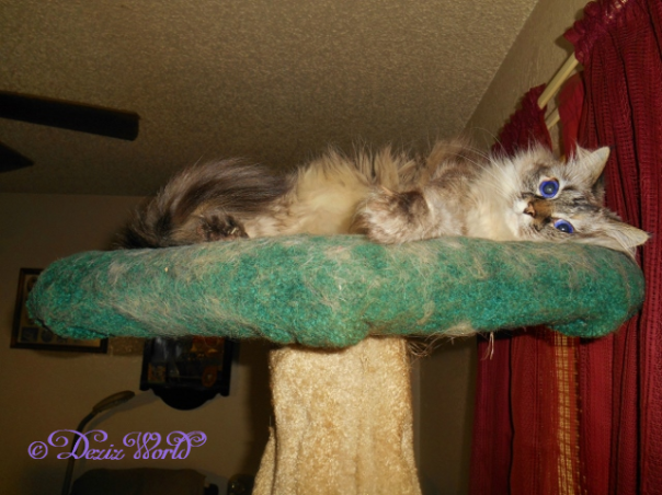 Dezi coyly looks at the camera from her perch on the cat tree