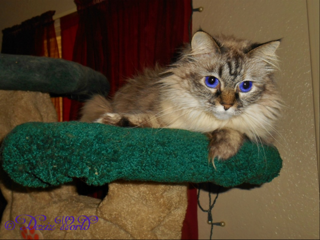Sweet Dezi on cat tree