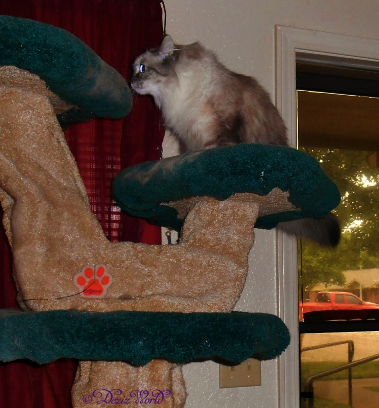 Dezi sniffing cat tree perch