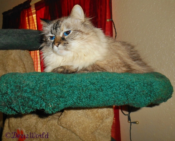 Dezi rests on the Liberty Cat Tree.