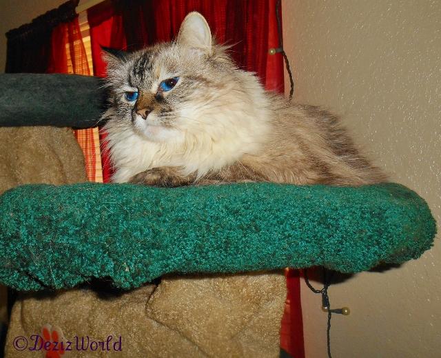 Dezi rests on the Liberty Cat Tree.