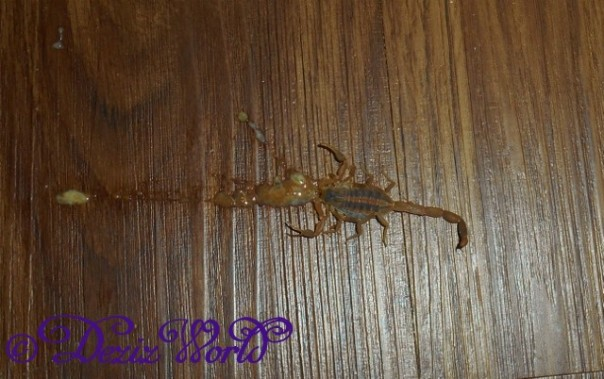 Dead stinging scorpian on kitchen floor