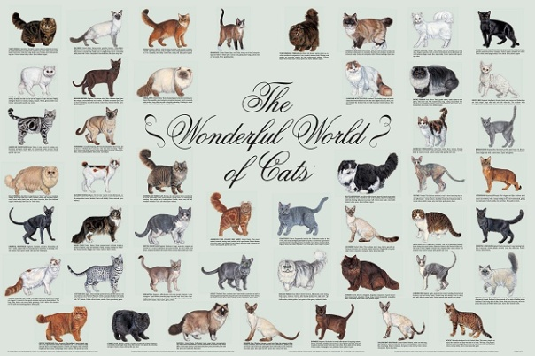 CFA Cat breed chart