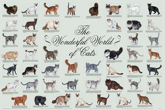 CFA Cat breed chart