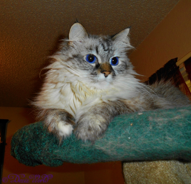 Dezi lounges atop the Liberty cat tree