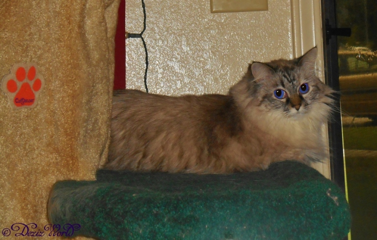 Dezi looks back from her door perch on the Liberty cat tree