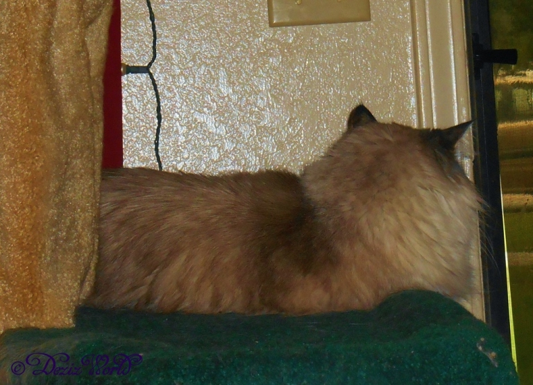Dezi stares out the window at the rain from the Liberty cat tree